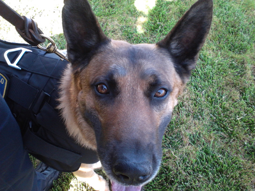 K-9 Armor is proud to protect San Pablo PD K9 Argos