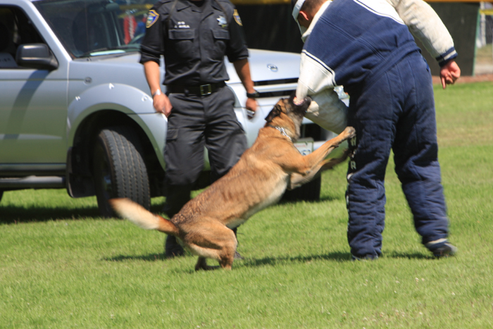 police dogs belgian malinois fave breed action